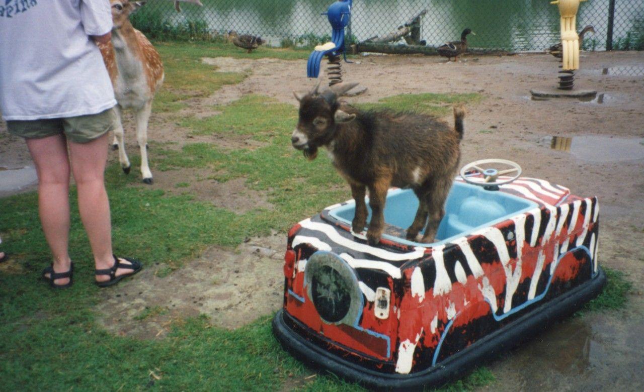 Baby goat on bumper car.