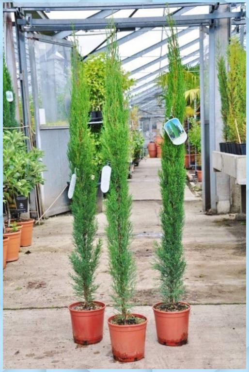 Zypresse Toskana Zypresse Garten Pflanzen Zypresse Toskana Zypresse Garten Pflanzen In 2020 Toskana Zypresse Pflanzen Garten