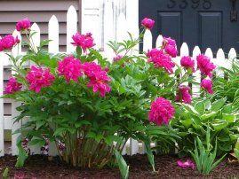 Kalendarz Pielegnacji Piwonii Porady Garden Wall Garden Plants