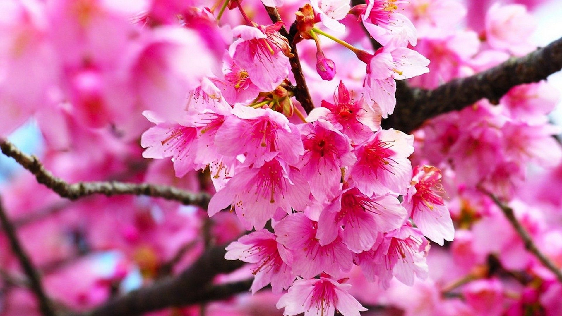 Pink Cherry Blossom Wallpaper HD Bunga sakura, Wallpaper