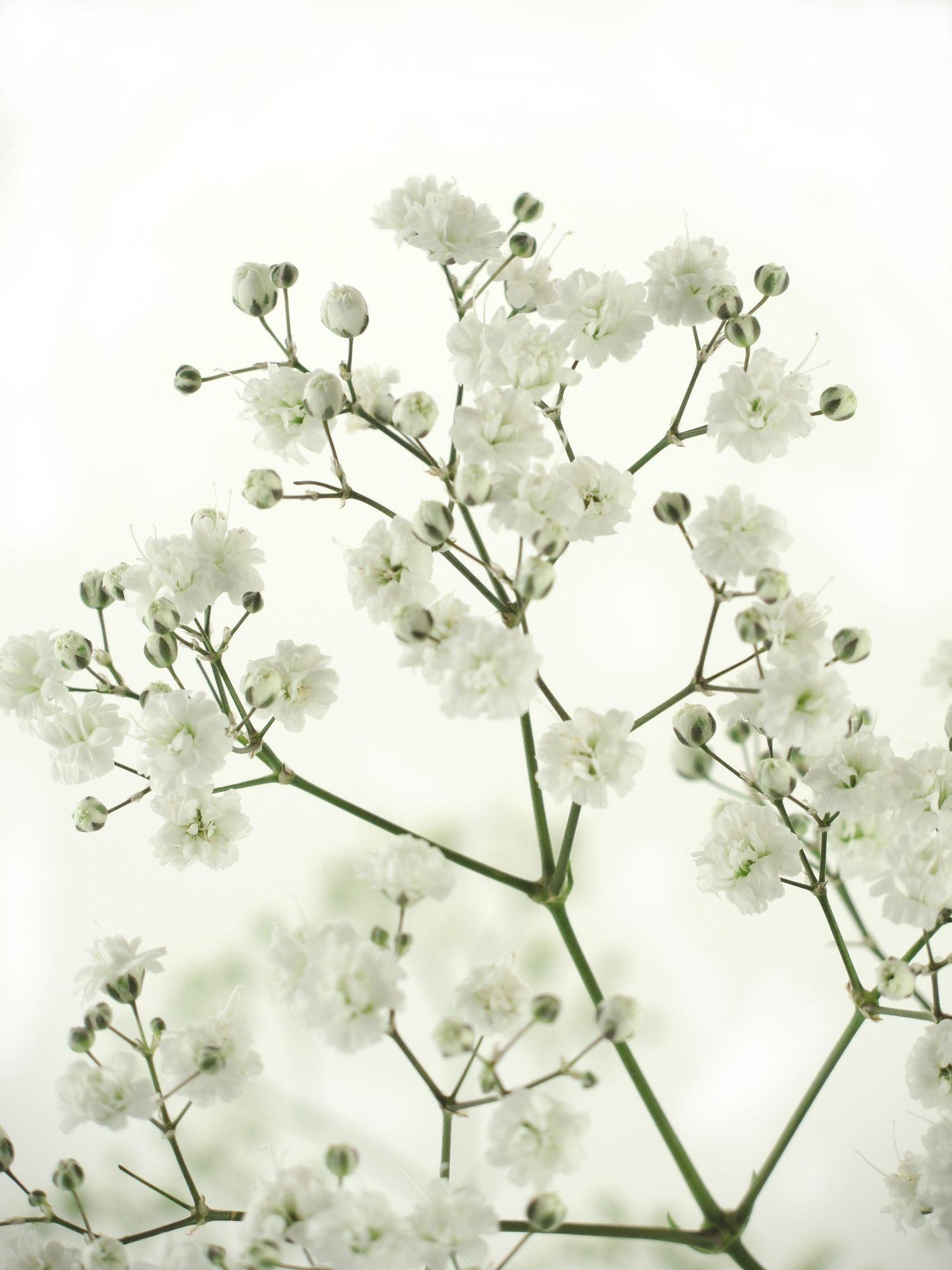 Weisses Schleierkraut Als Schnittblume Saison Im Januar Februar