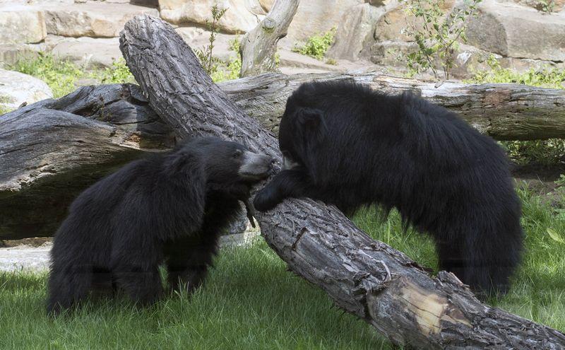Sloth bears at the new facility ZOOOOOOO CUUUUTEEEEE like 20 euro.