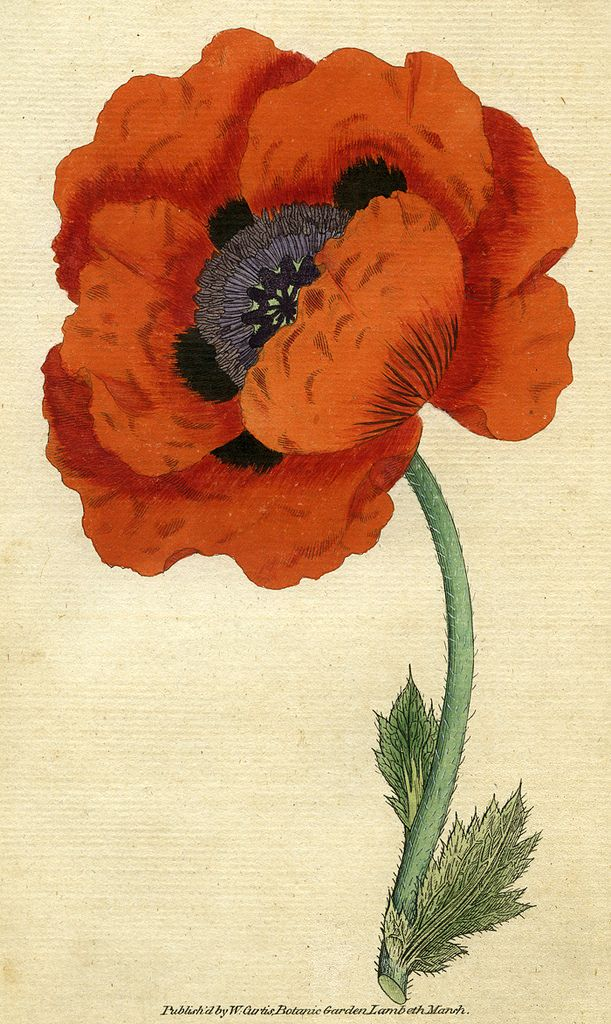 https://flic.kr/p/uK3AxR | Eastern poppy, papaver orientale | Eastern poppy, papaver orientale, illustration from a book published by William Curtis in 1787.   ACM907.6.4  DPABRH63