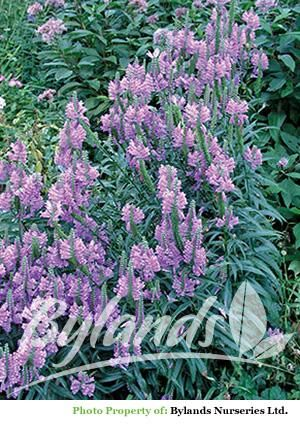 Physostegia Obedient Plant Bright Spreading Perennial With Long