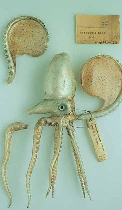 Blaschka model of Paper Nautilus