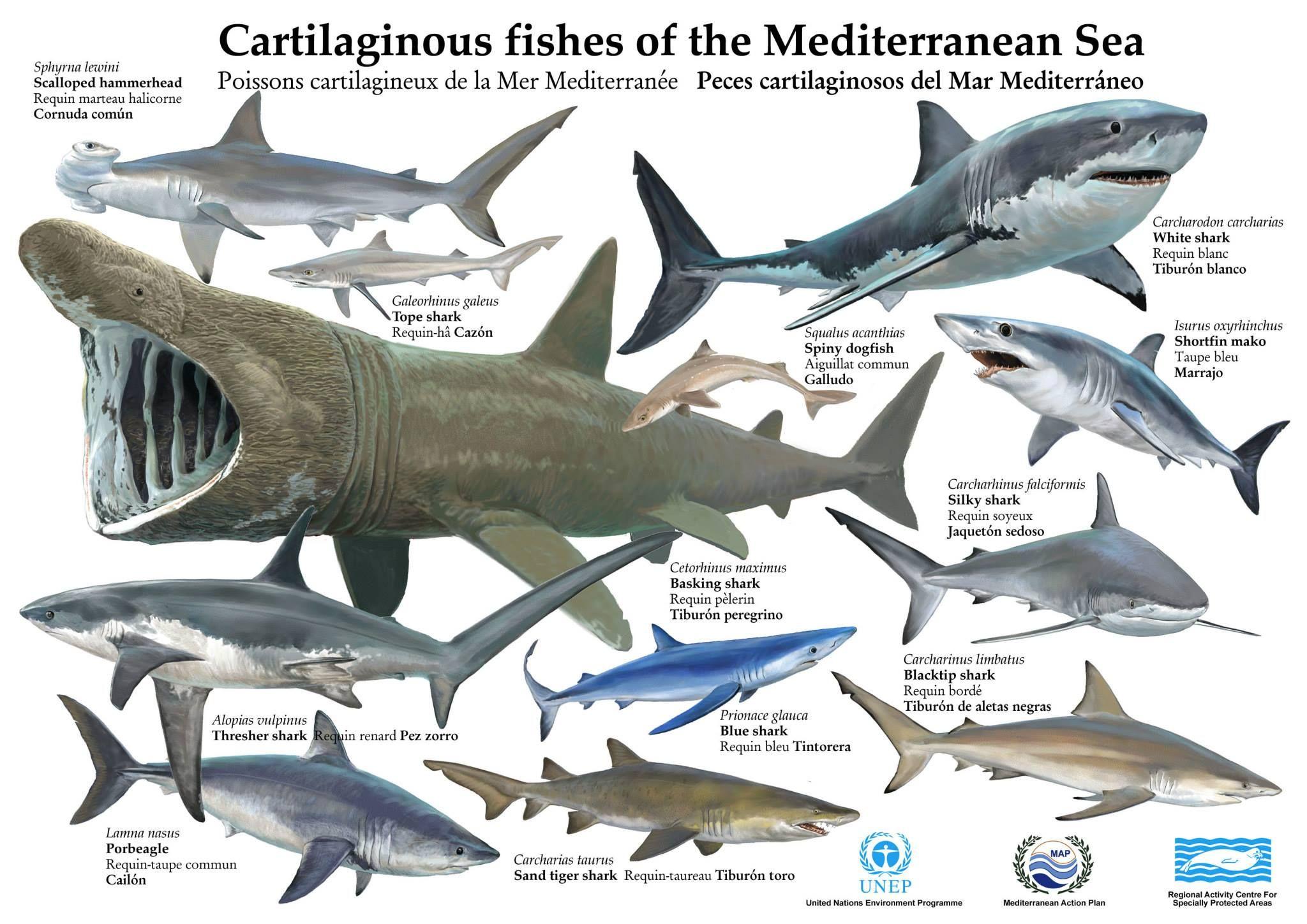 épinglé Par Requin Blanc Sur Requins Especies De Tiburones