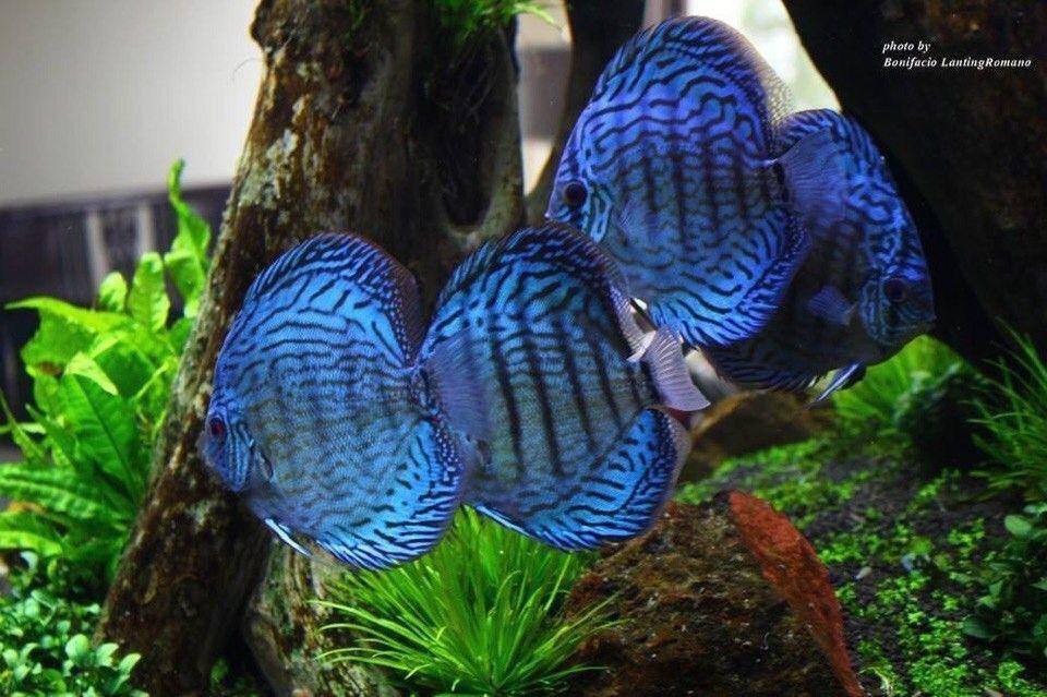 Pin By Jinwon Kim On Discus Fish Tank Plants Discus Fish Pet Fish
