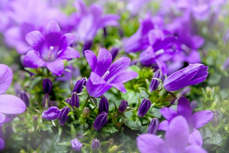 70 beautiful purple flowers care growing tips flower flowers 70 beautiful purple flowers care growing tips mightylinksfo