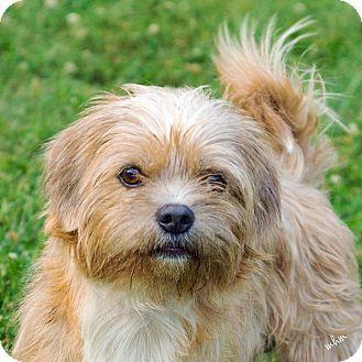 Naperville Il Shih Tzu Mix Meet Robbie A Dog For Adoption