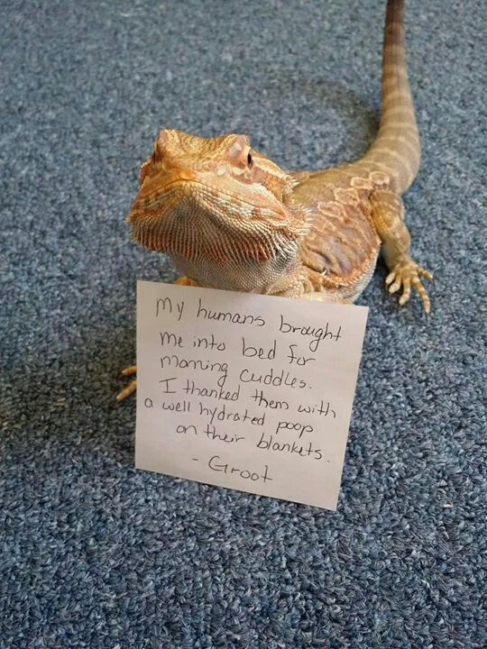 I'm getting a bearded dragon, hopefully this one male that ...
