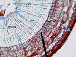 Image result for herbaceous dicot stem labeled