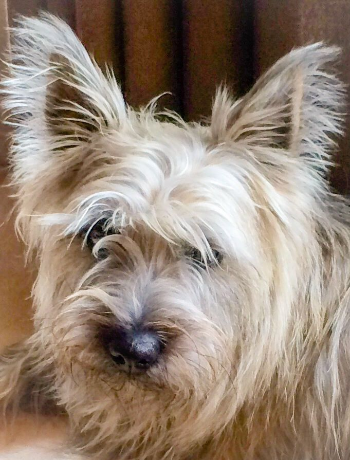 Pretty Girl Trudy Cairn Terrier Cairn Terriers Glen Of Imaal