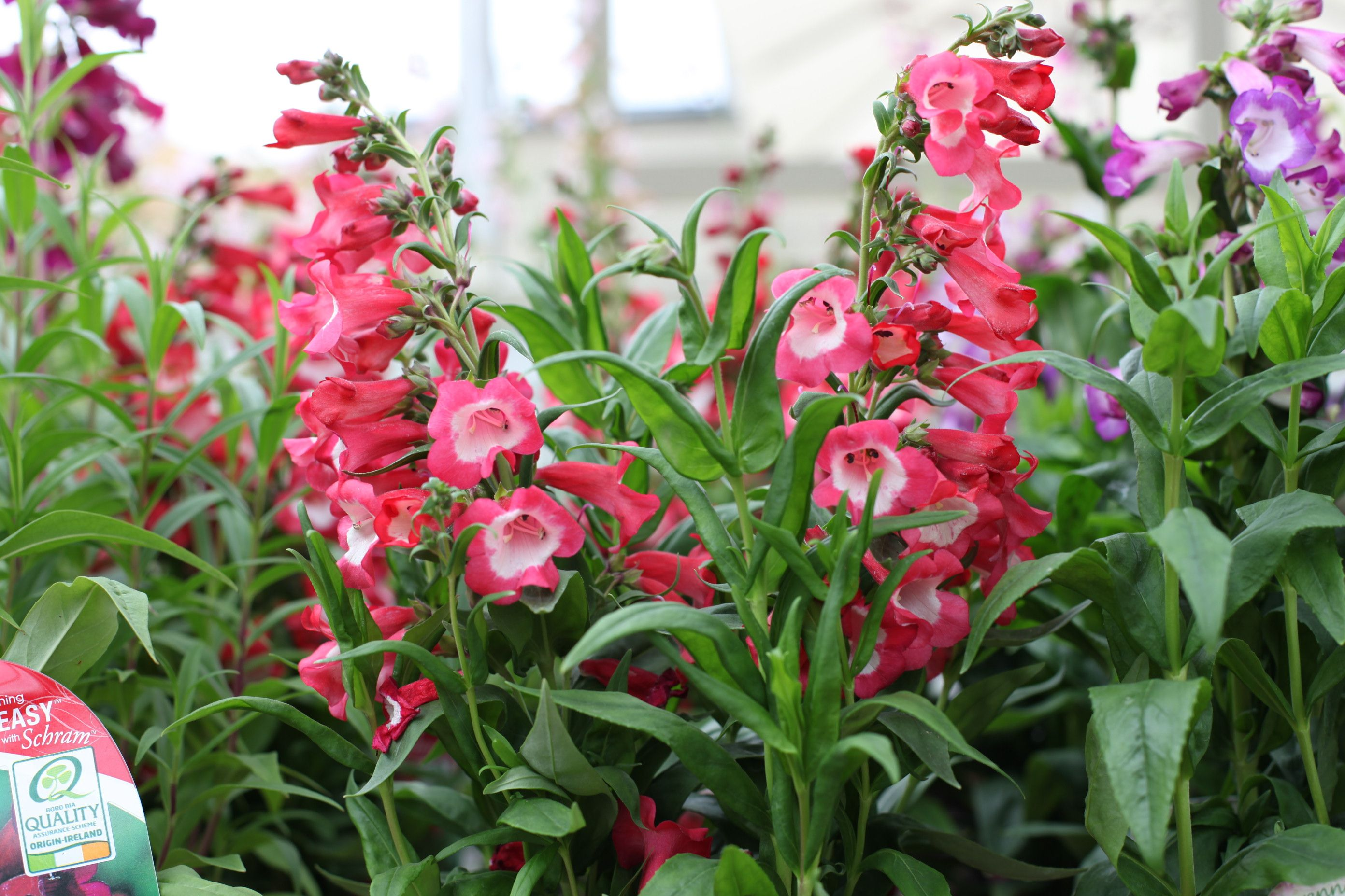 Long flowering perennials gallery fresh lotus flowers penstemon polaris red long flowering perennial with numerous mightylinksfo