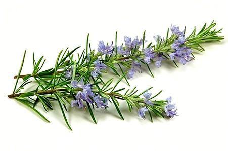 Molati Com Is For Sale Brandbucket Fly Repellant Rosemary Flower Plants That Repel Flies