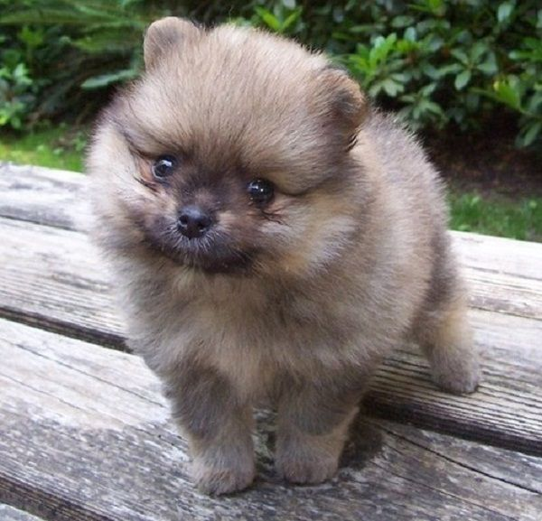 Pomeranian Puppies For Sale Perth Zoe Fans Blog Pomeranian