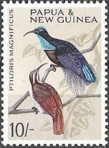Magnificent Riflebird (Ptiloris magnificus)