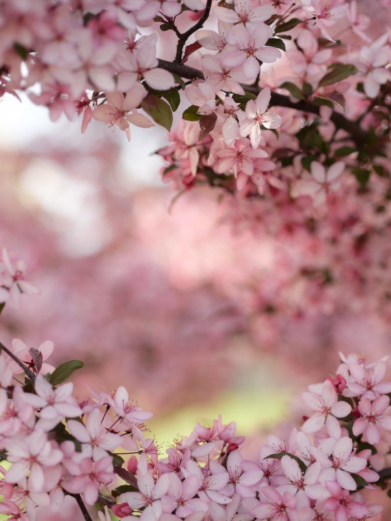 27 Beautiful Photographs Of Cherry Blossoms In 2021 Cherry Blossom Pictures Cherry Blossom Wallpaper Flower Pictures