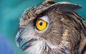 Обои сова, птица, глаза, окрас, макро (с изображениями ...
