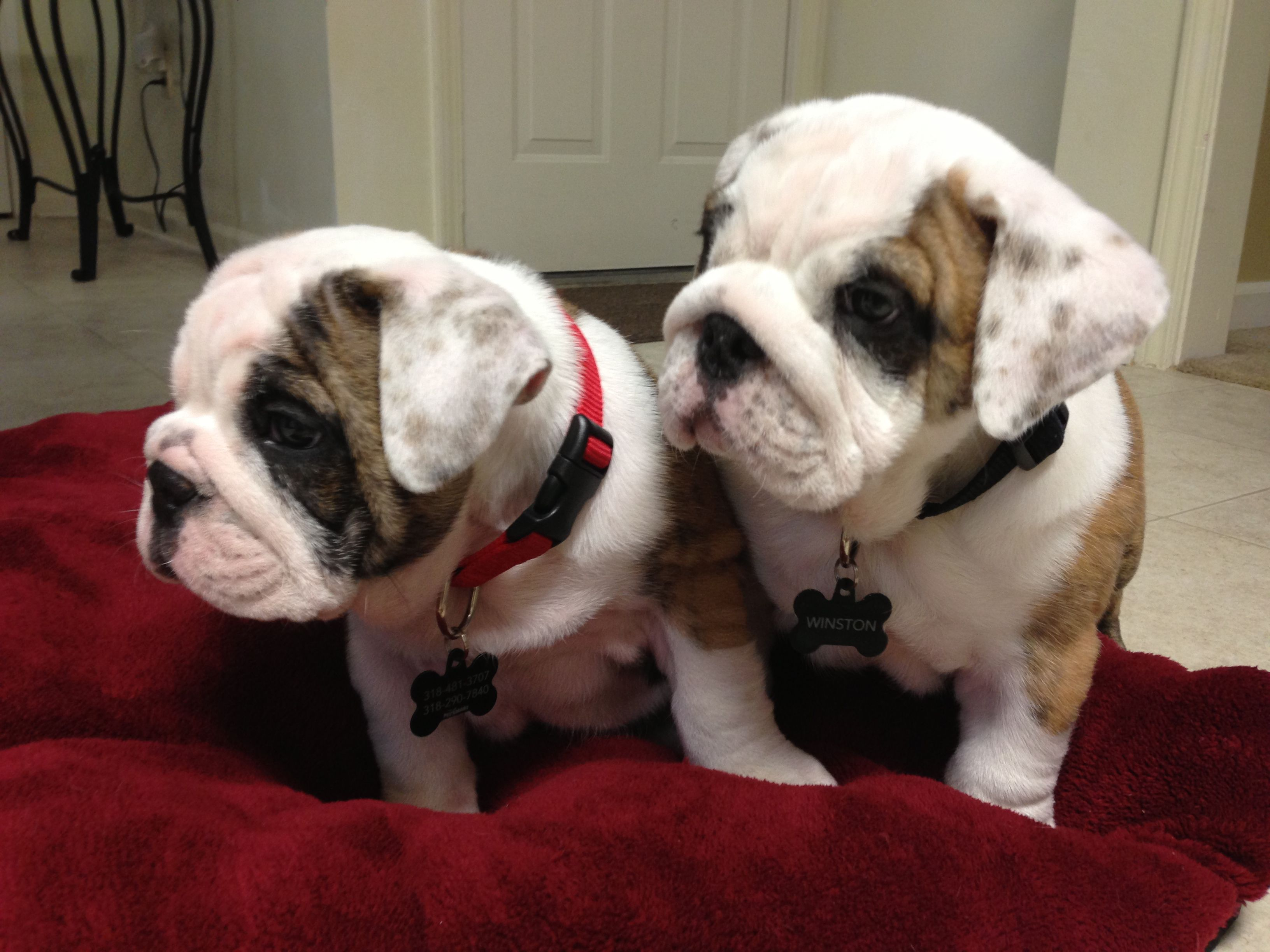 Pin By Trudy Pennings On Engelse Bulldogs In 2020 English