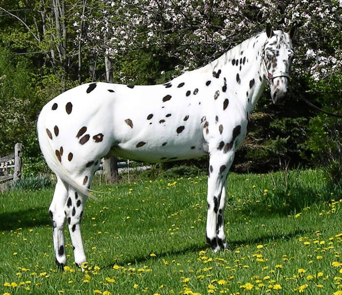 Leopard Appaloosa Horses | ... strikingly beautiful true ...