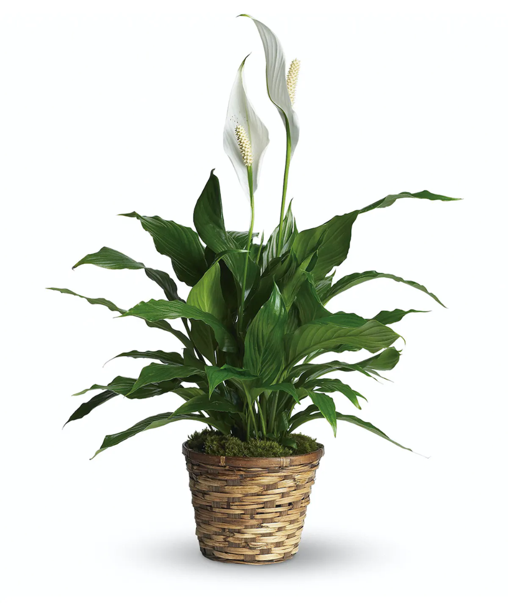 petit spathiphyllum warts and cancer link