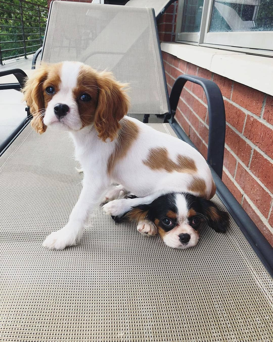 Cutest Puppies S Instagram Profile Post Sibling Problems Tag Someone W In 2020 King Charles Dog Cavalier King Charles Dog King Charles Cavalier Spaniel Puppy