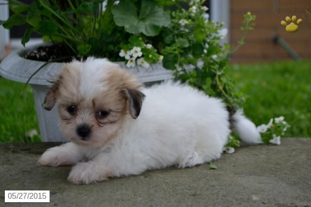 Winny Shichon Puppy For Sale In Millersburg Oh Shichon Puppies Puppies Puppies For Sale