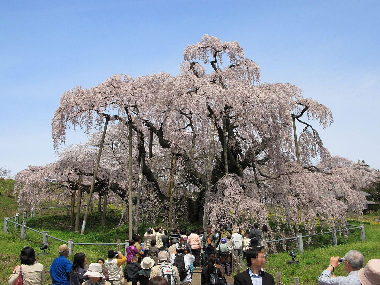 Japón: un Cerezo de 1000 años logra florecer en medio de la pandemia del coronavirus