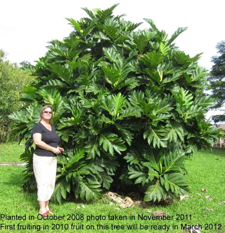 Breadfruit Trees Are Trees That Feed And Create Jobs In Jamaica Fruit Plants Plants Breadfruit