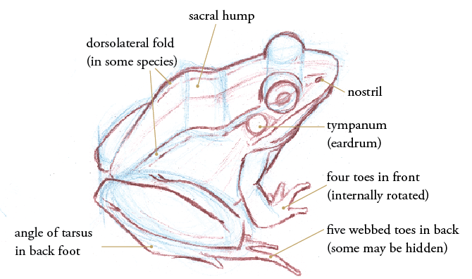 Learn How To Draw Frogs And Toads By Learning Key Anatomical Details From Warts To Understanding The Skeleton Frog Drawing Frog Art Frog Sketch