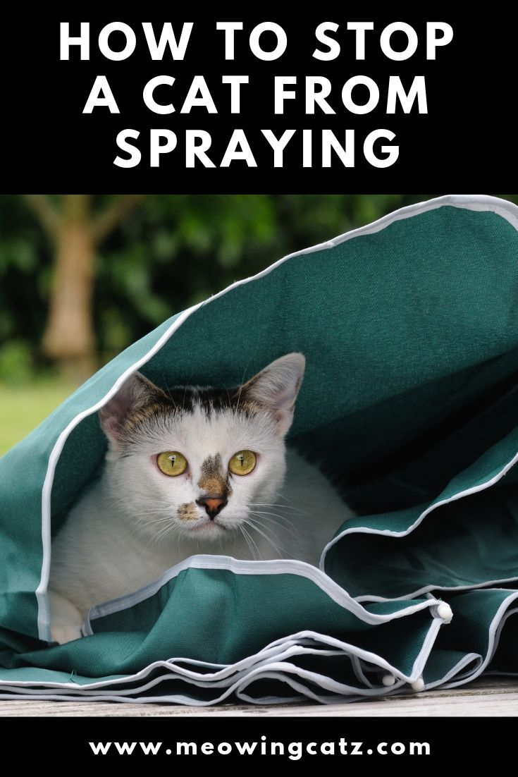 How to stop a cat from spraying Cat spray smell, Cat