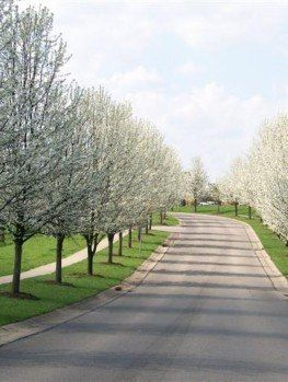 Cleveland Pear Tree Guide The Tree Center Garden Pear Trees