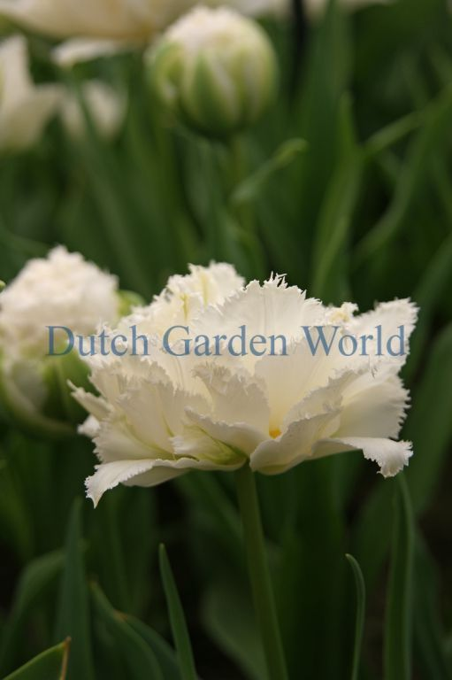 Spring flowering bulbs tulip snow crystal bloembollen dutch garden spring flowering bulbs tulip snow crystal bloembollen dutch garden world mightylinksfo