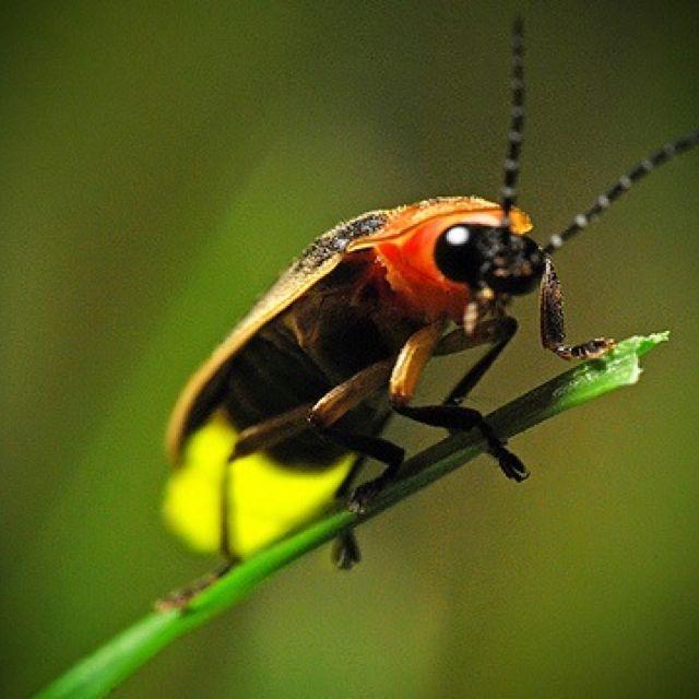 Lightning bug | Lightning bugs | Pinterest | Fotografía macro ...