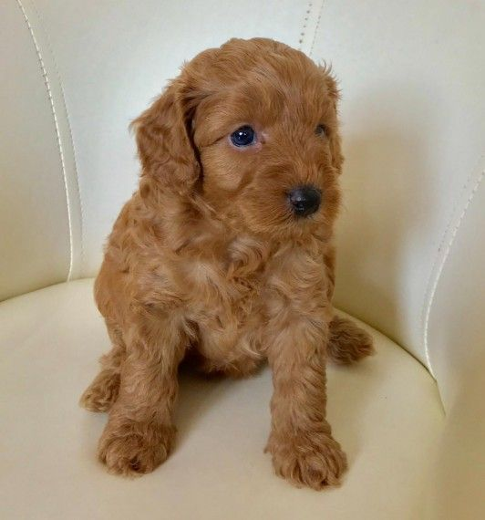 1 PUPPY LEFT (With images) Cockapoo puppies for sale