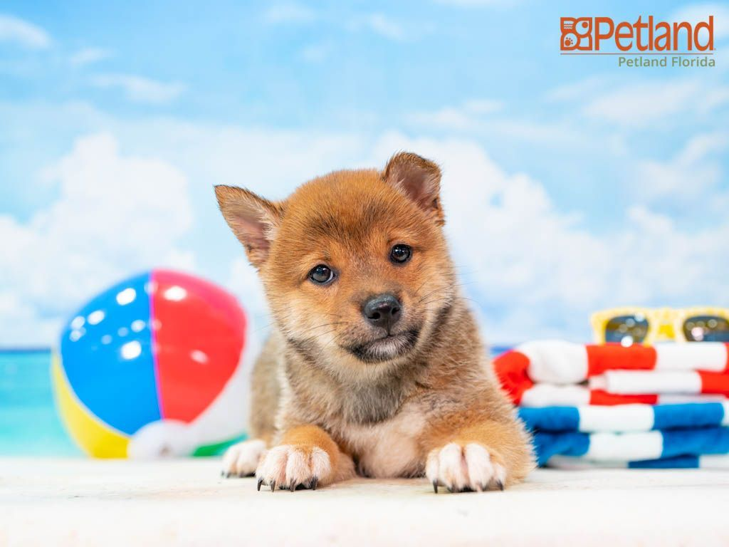 Puppies For Sale Petland Florida In 2020 Puppy Friends Puppies Puppies For Sale