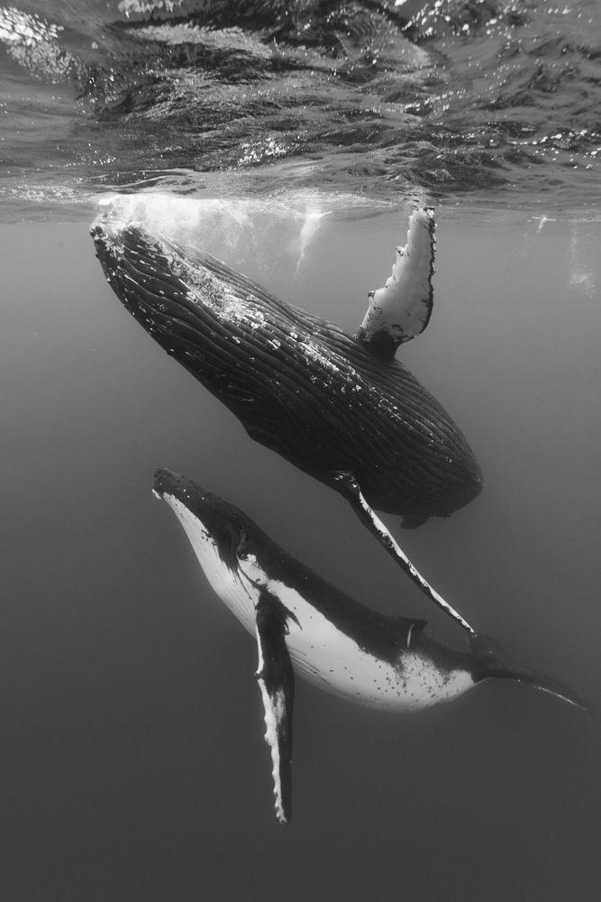 Humpback Whale Wallpaper Hd에 대한 이미지 검색결과 With Images Ocean Animals Ocean Mammal Ocean Creatures