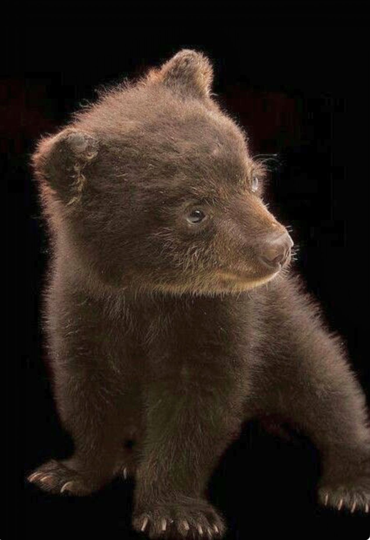 Adorable grizzly bear cub So cute when SMALL