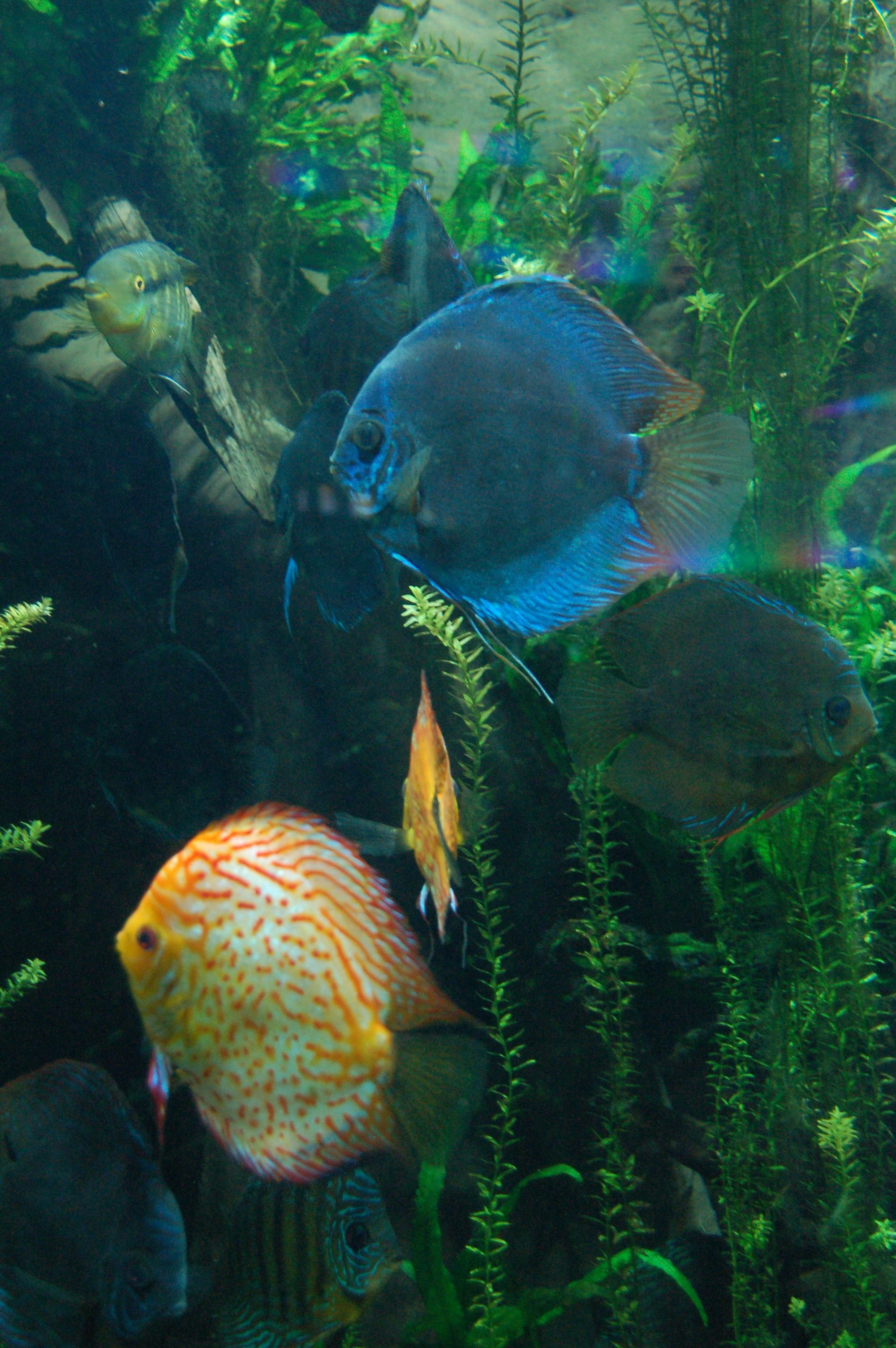 Discus fish which I want someday