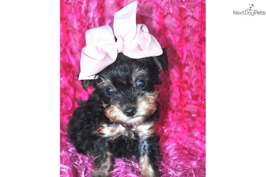 I am a cute Yorkiepoo Yorkie Poo puppy, looking for a