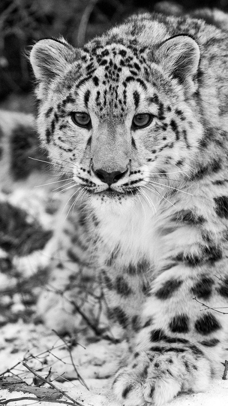 IPhone 6 Snow leopard Wallpapers HD, Desktop Backgrounds