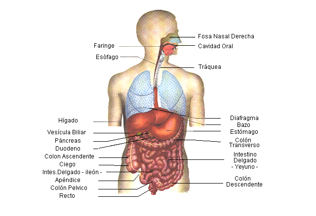 El Sistema Digestivo Junio 2012 Organos Del Cuerpo Humano Sistema Digestivo Humano Cuerpo Humano