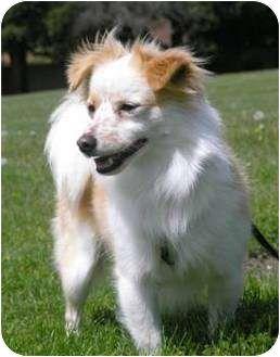 Papillon Pomeranian Mix Google Search My Favorite Dog Breeds