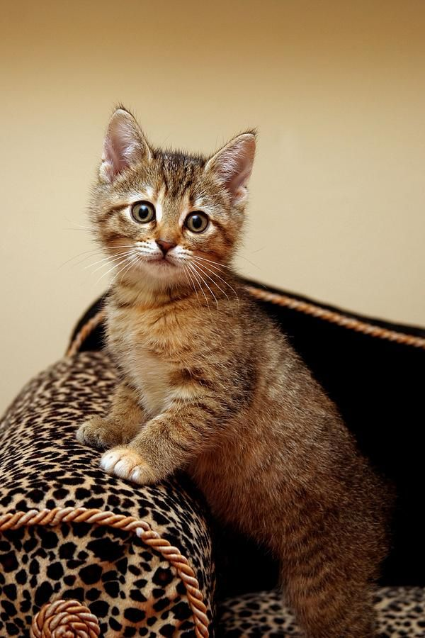 Glamour Girl By Ranee Taylor Cute Cats Cats Kittens Cutest