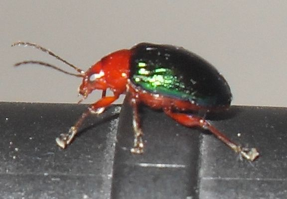 Friendly metallic green beetle in my house (Photo by Me)