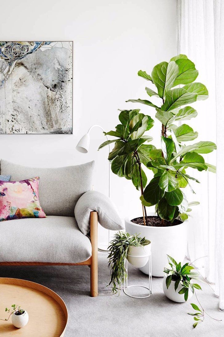 Shut the Front Door! Fiddle Leaf Fig Trees Are at Costco For a ...