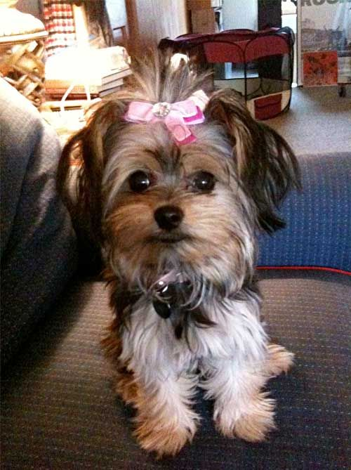 Lola With A Bow A Place To Love Dogs