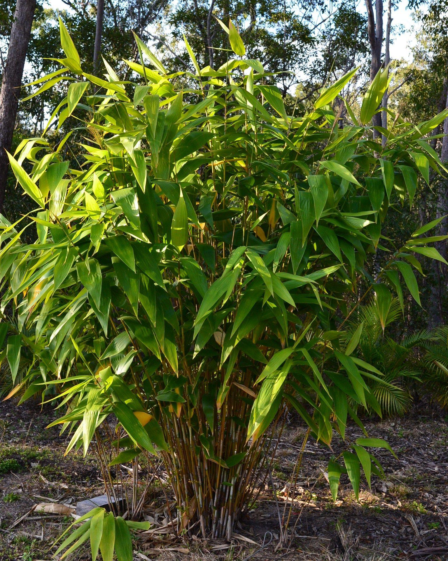 Tiger Grass (Thysanolaena maxima) plants for sale