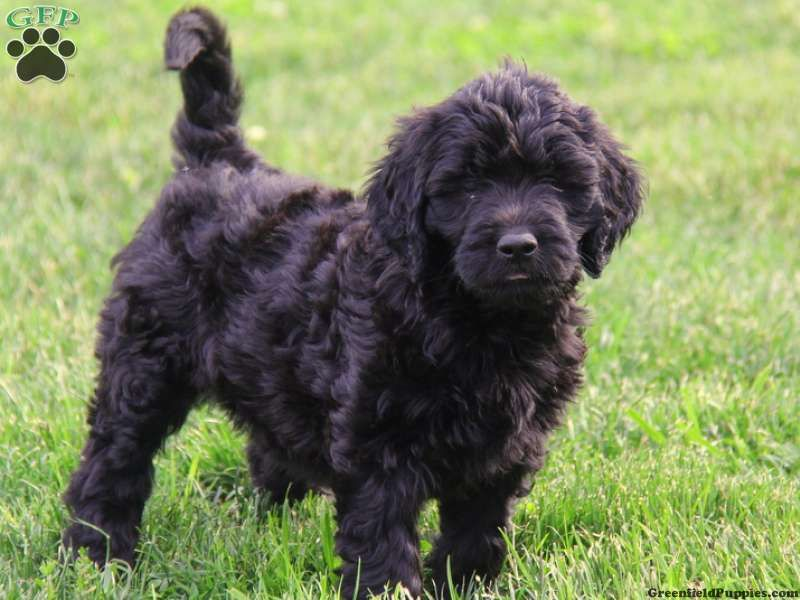 Goldendoodle Puppies For Sale In Pa Goldendoodle Black