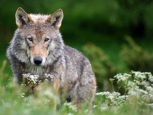 Conservation groups fight to protect gray wolves from ESA delisting